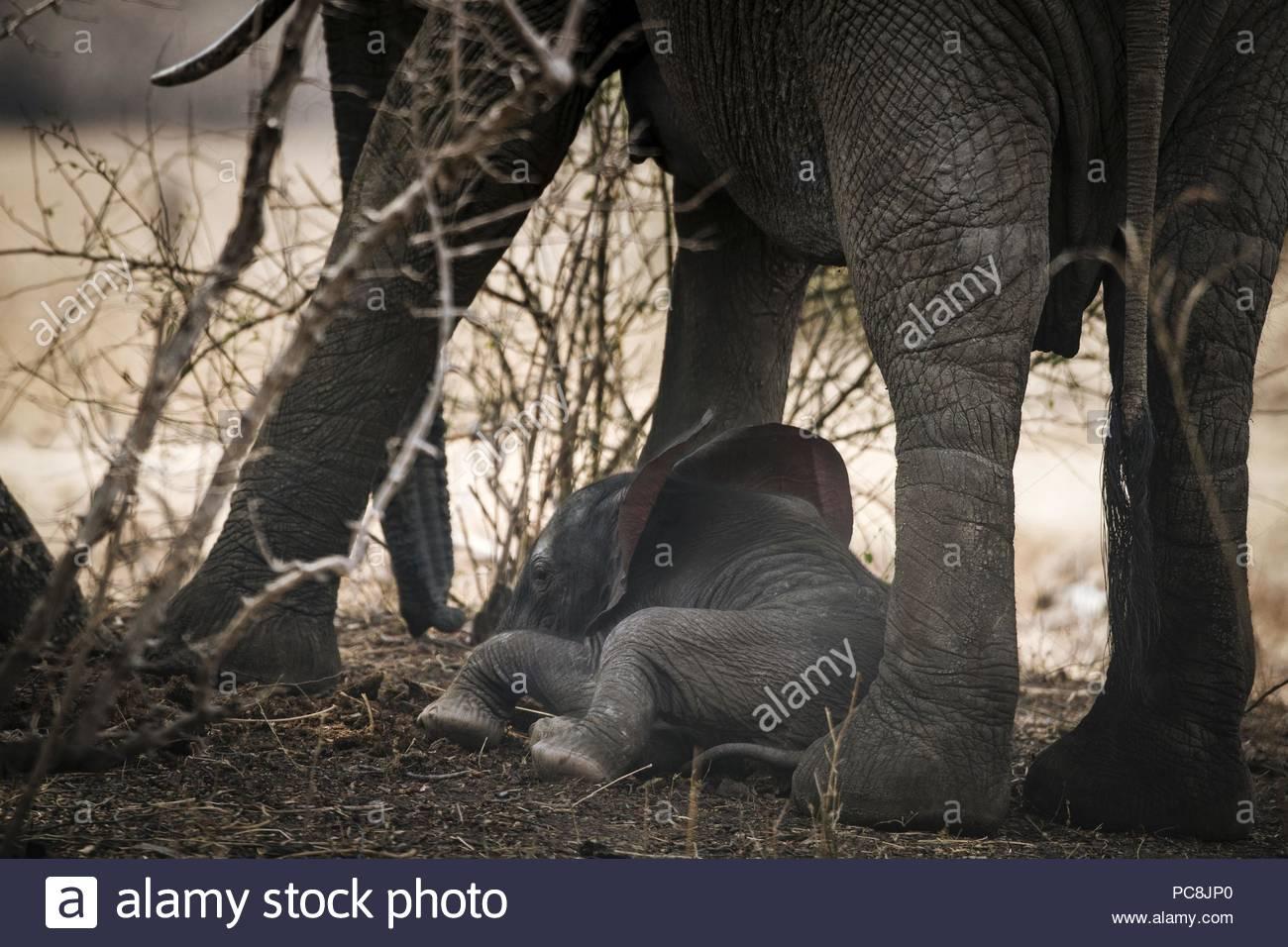 Un elefante africano per allattamento di vitello da sua madre, Loxodonta africana. Immagini Stock