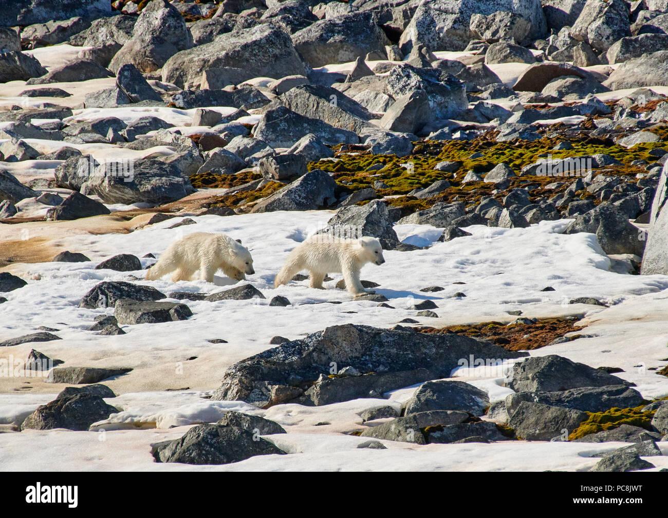 Due polar bear cubs (Ursus maritimus), isole Svalbard o Spitsbergen, Europa Immagini Stock