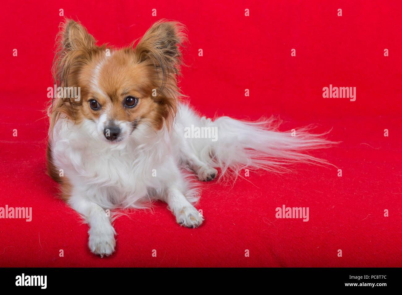 Cane papillon su uno sfondo di colore rosso. Foto Stock