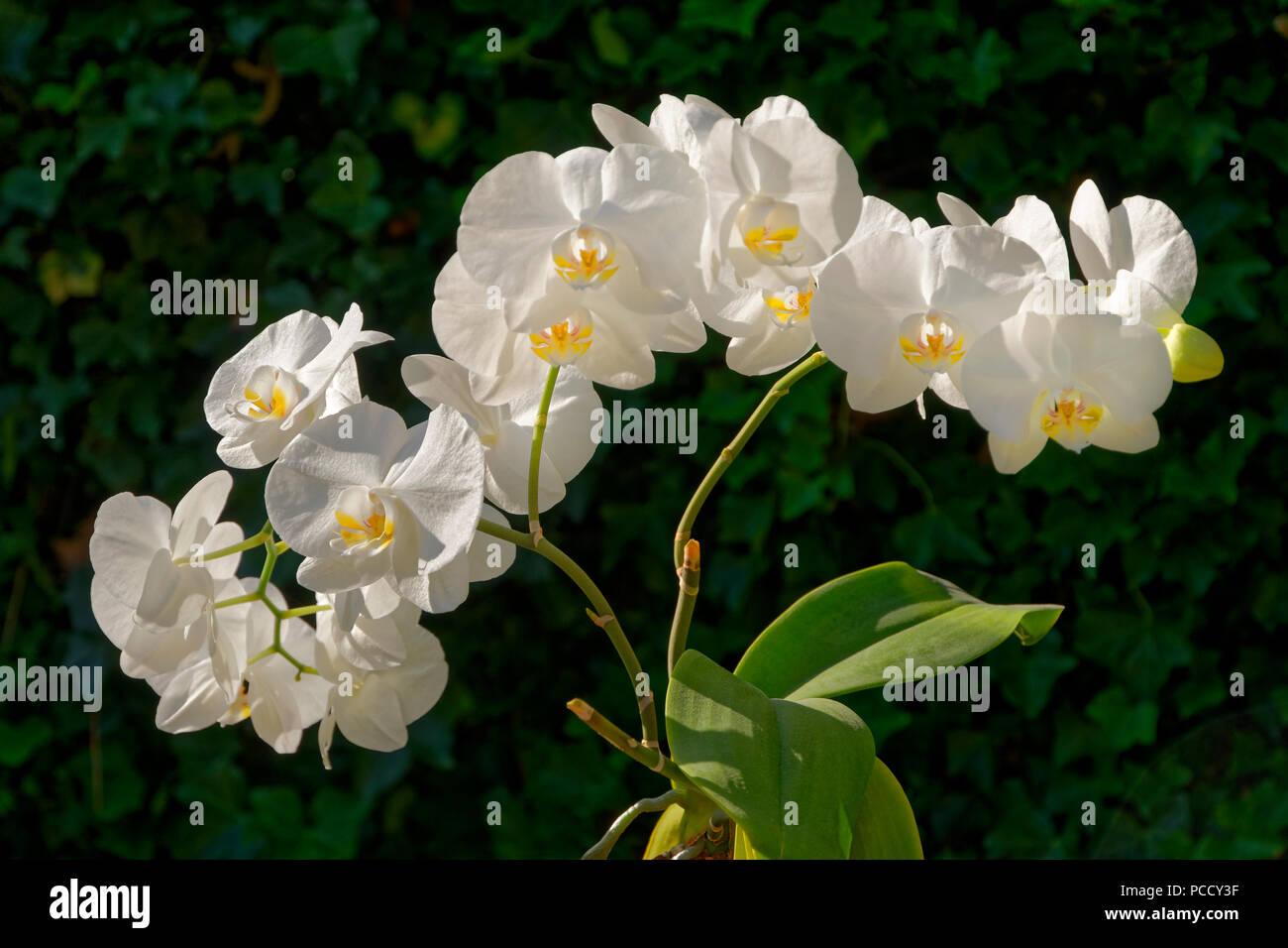 Fiori Orchidea Bianchi.Fiori Di Orchidea Bianchi A Volte Chiamato Moth Orchidea
