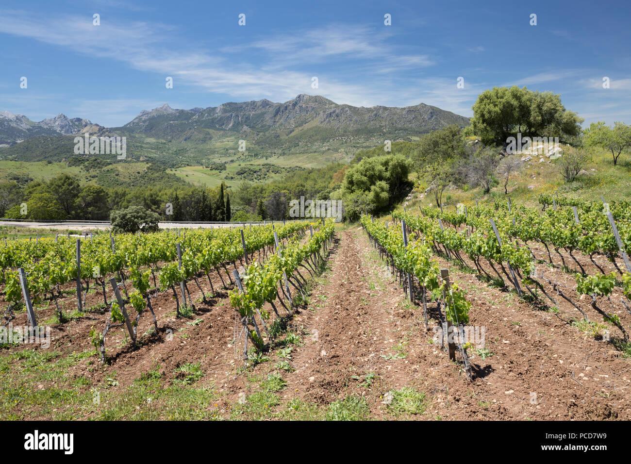 Vigneto impostato sotto le montagne della Sierra de Grazalema parco naturale, Zahara de la Sierra, la provincia di Cadiz Cadice, Andalusia, Spagna, Europa Immagini Stock