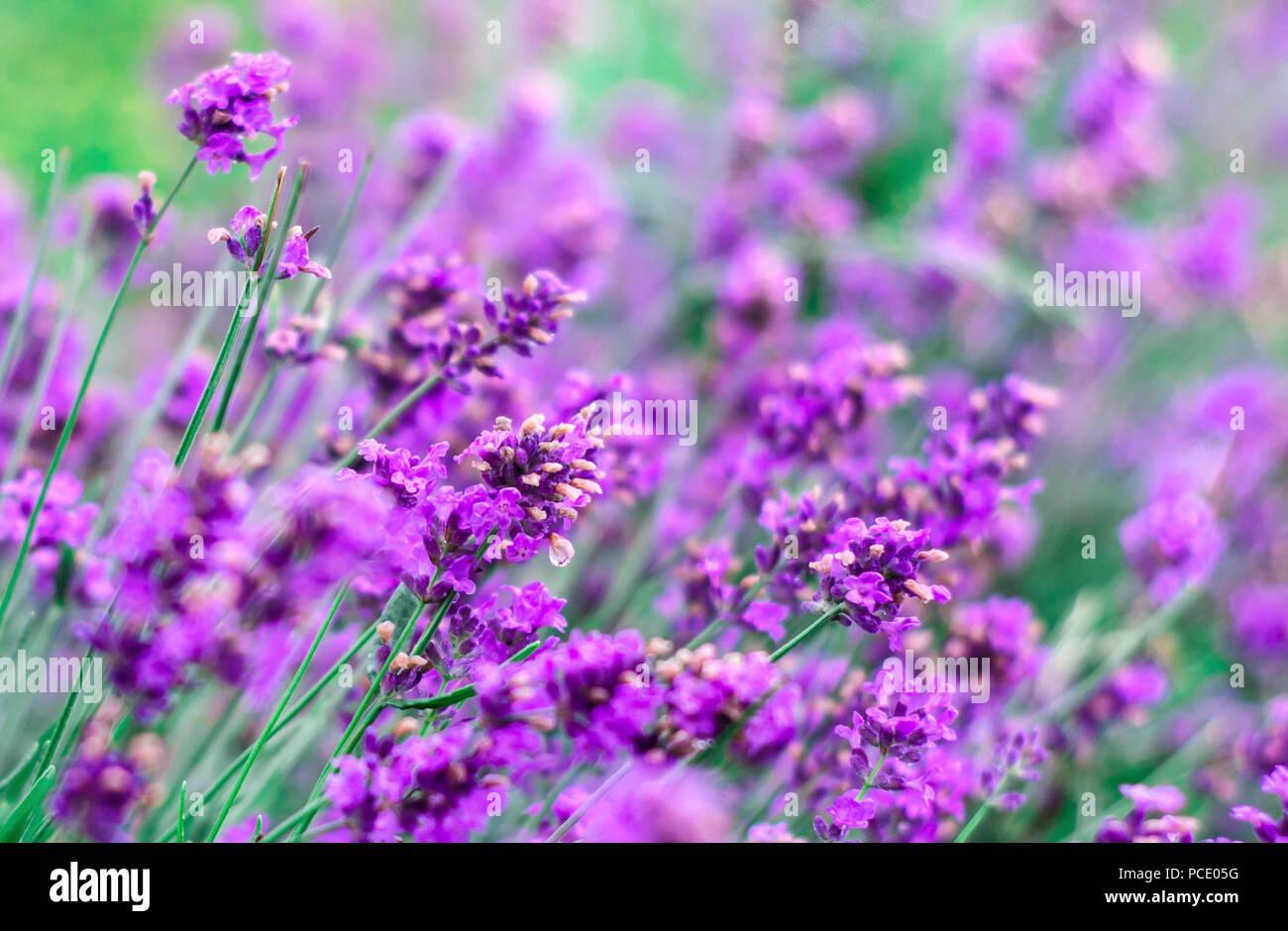 Splendida Fioritura Selvaggio Fiore Viola In Un Campo La Natura