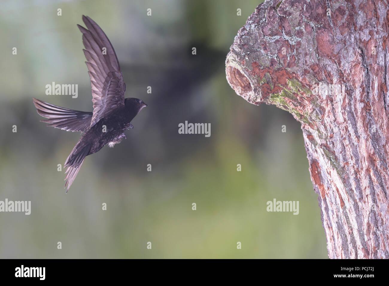 Mauersegler, im Anflug un Spechthoehle, Selketal bei Harzgerode, Harz, Deutschland, (Apus apus) Immagini Stock