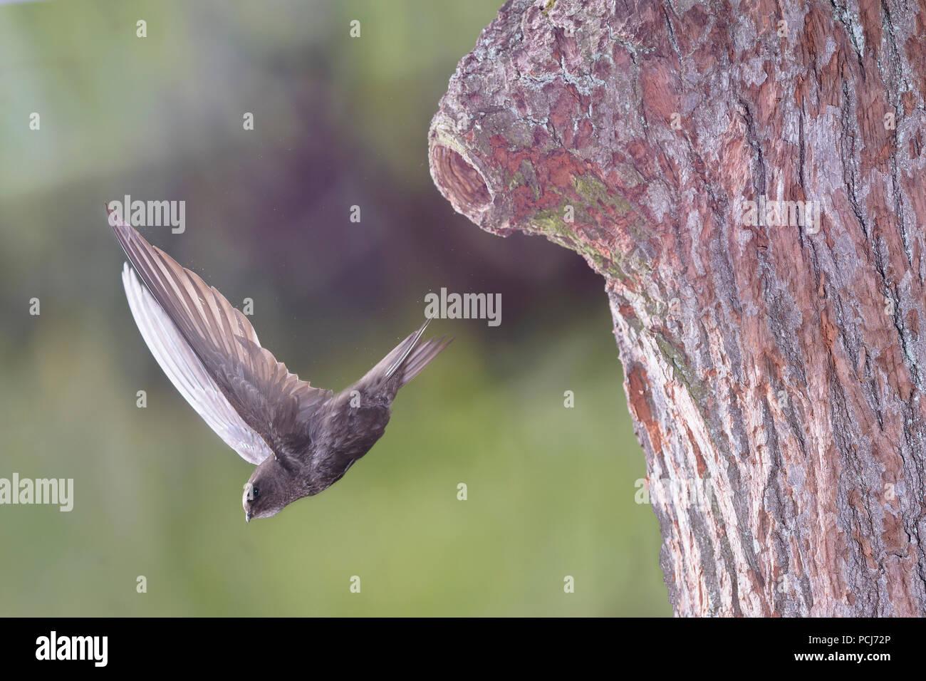 Mauersegler, beim Abflug von Spechthoehle, Selketal bei Harzgerode, Harz, Deutschland, (Apus apus) Immagini Stock