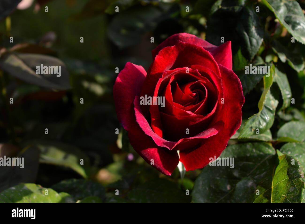 Close-up di una bella rosa rossa, Macro Natura Immagini Stock