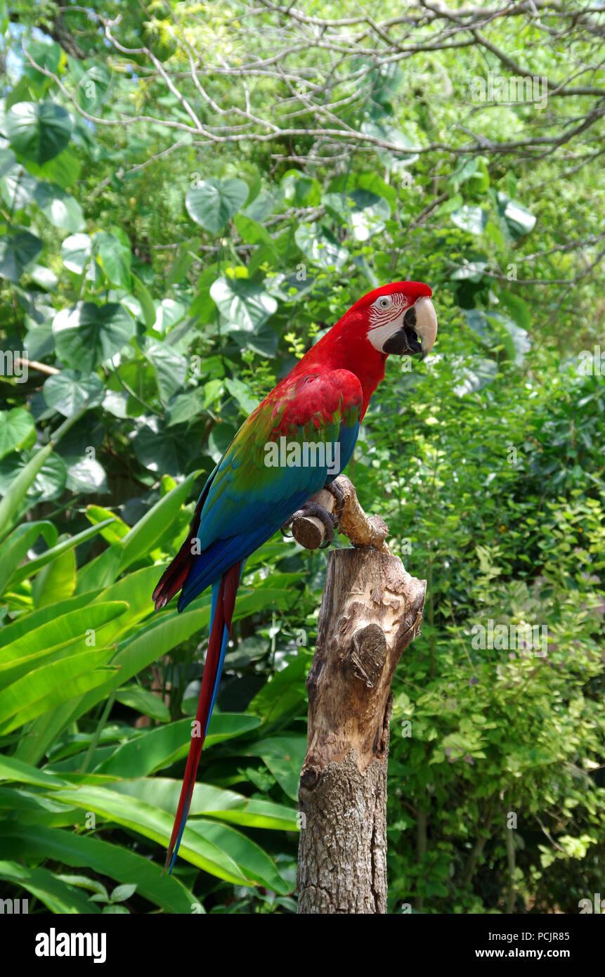 """Green-Winged Macaw. 'Pappagallo di parlare"""" programma presso la South Texas Giardini Botanici e Centro Natura nel Corpus Christi, Texas USA. Immagini Stock"""
