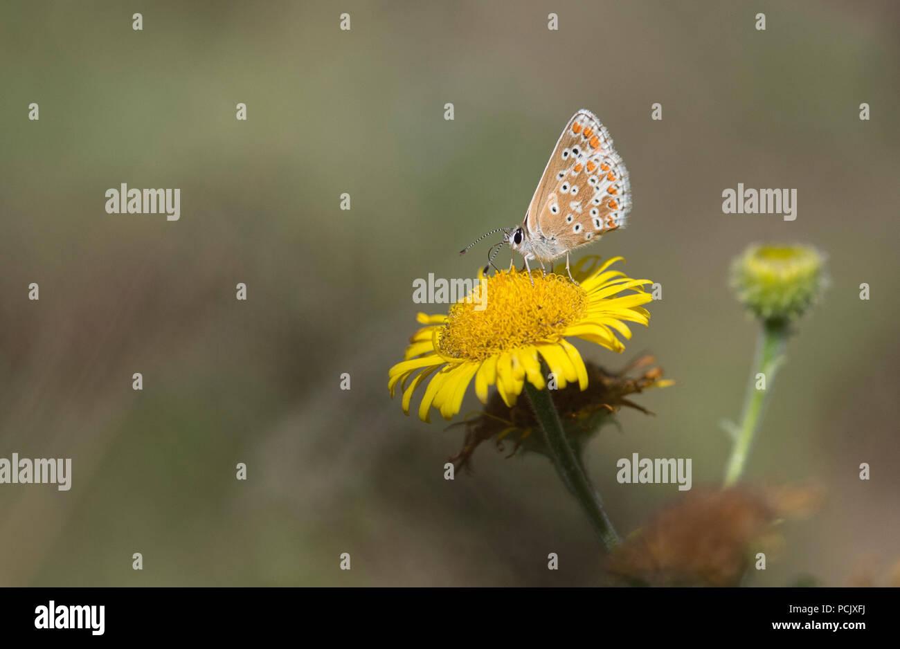 Brown argus butterfly (Aricia agestis) lato inferiore di pazienti adulti imago Immagini Stock