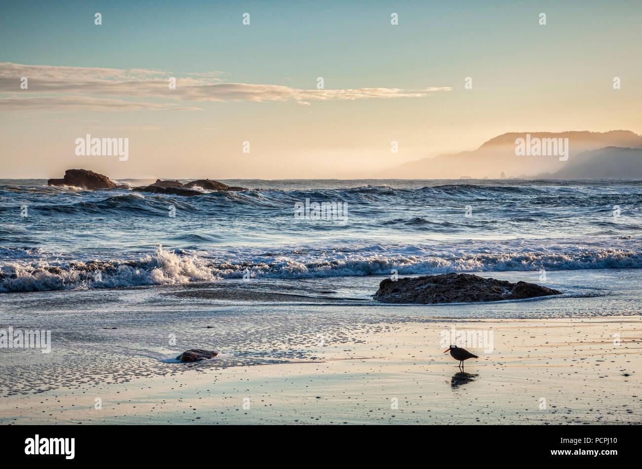 Un lone oystercatcher caccia per la colazione su un selvatico mattina al Picchio Bay, Paparoa National Park, West Coast, Nuova Zelanda. Immagini Stock