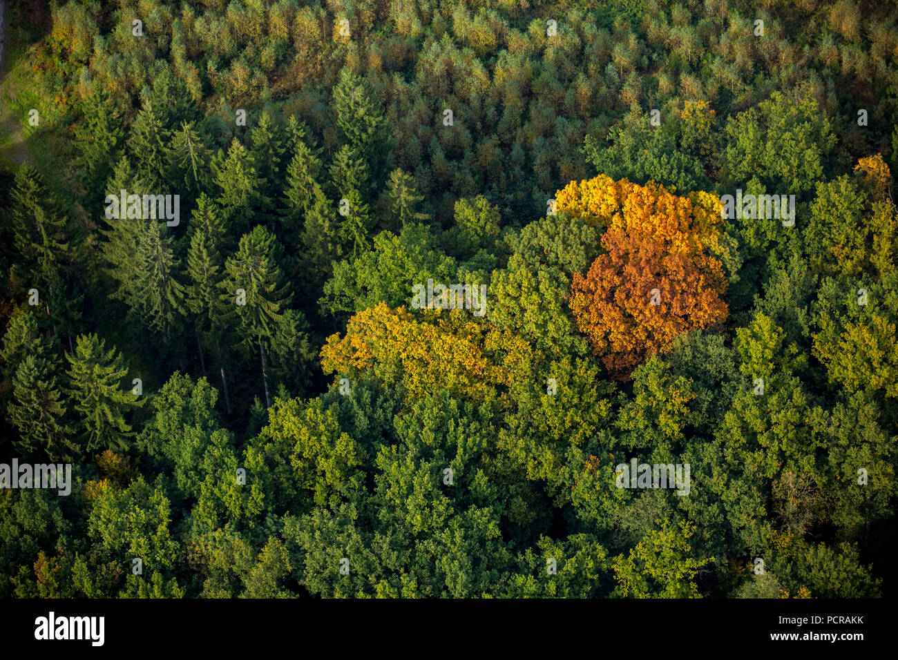 Foglie di autunno, autunno foresta in colori luminosi nella foresta di Arnsberg vicino a Meschede, Meschede, Sauerland, Nord Reno-Westfalia, Germania Immagini Stock