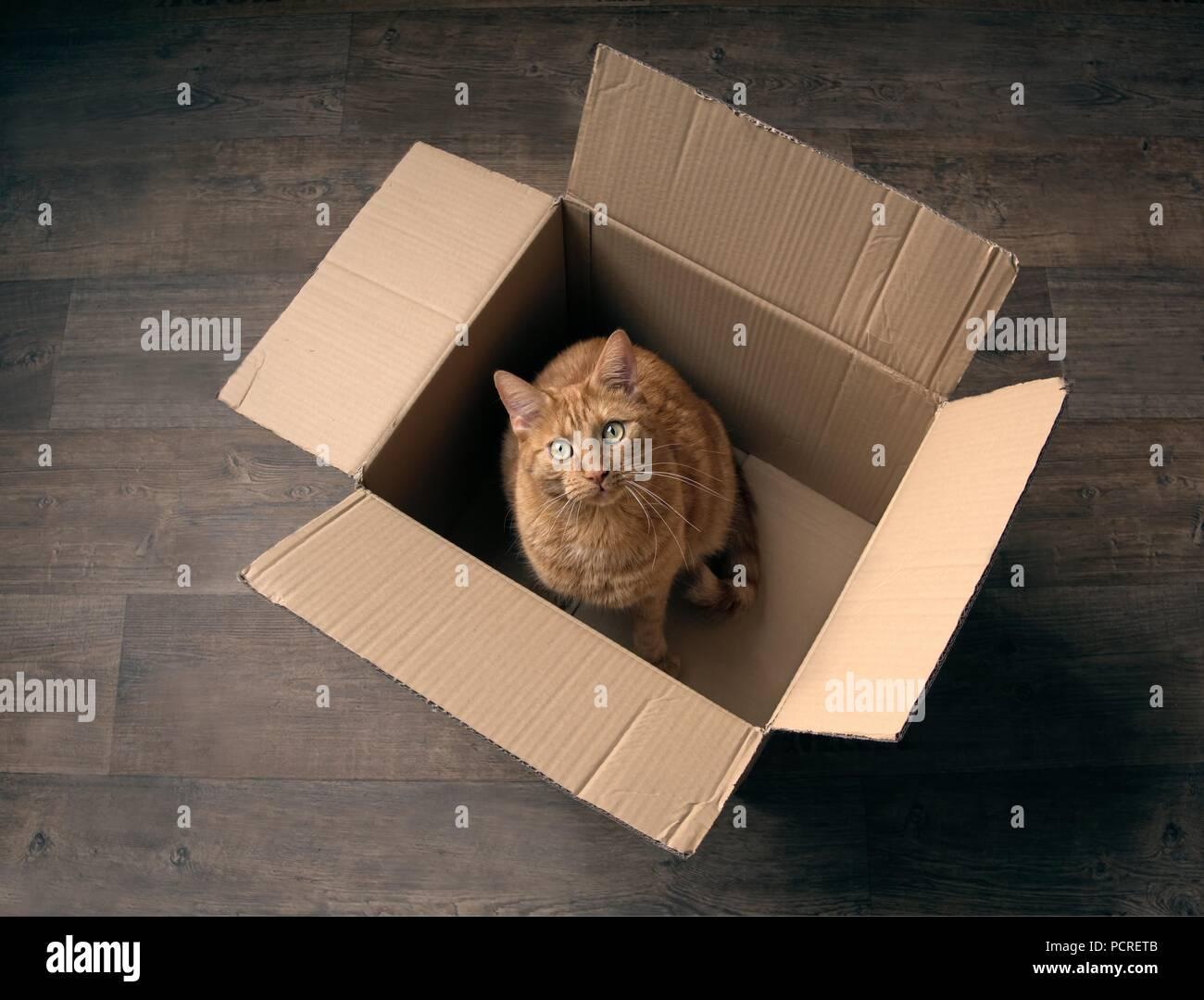 Lo zenzero Cute cat seduto in una scatola di cartone su un pavimento in legno e guardando curioso per la fotocamera. Immagini Stock