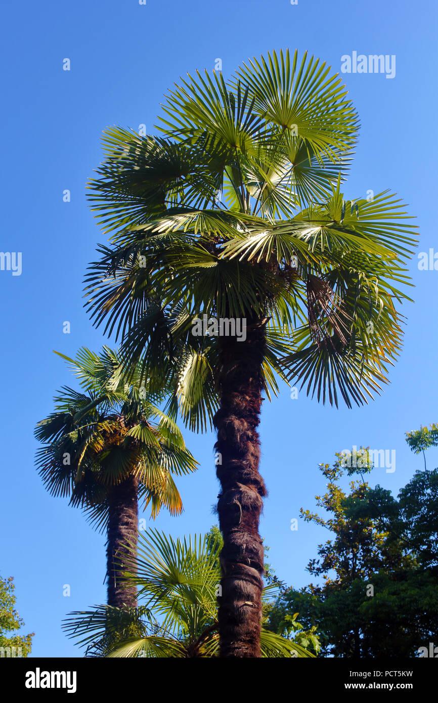 Due palme oltre il cielo blu foto Immagini Stock
