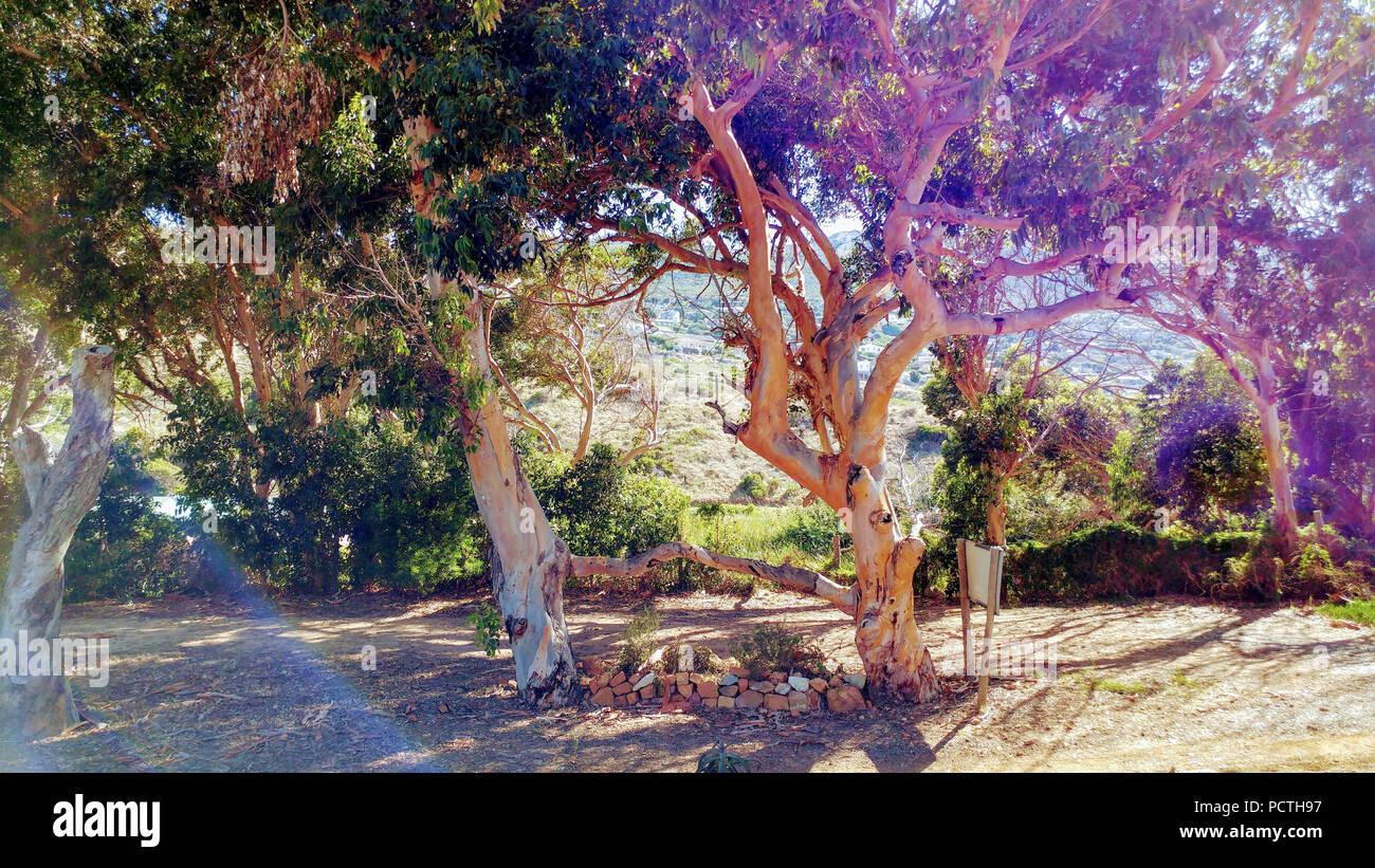 Due alberi cresciuti insieme in colori luminosi, Sud Africa Immagini Stock