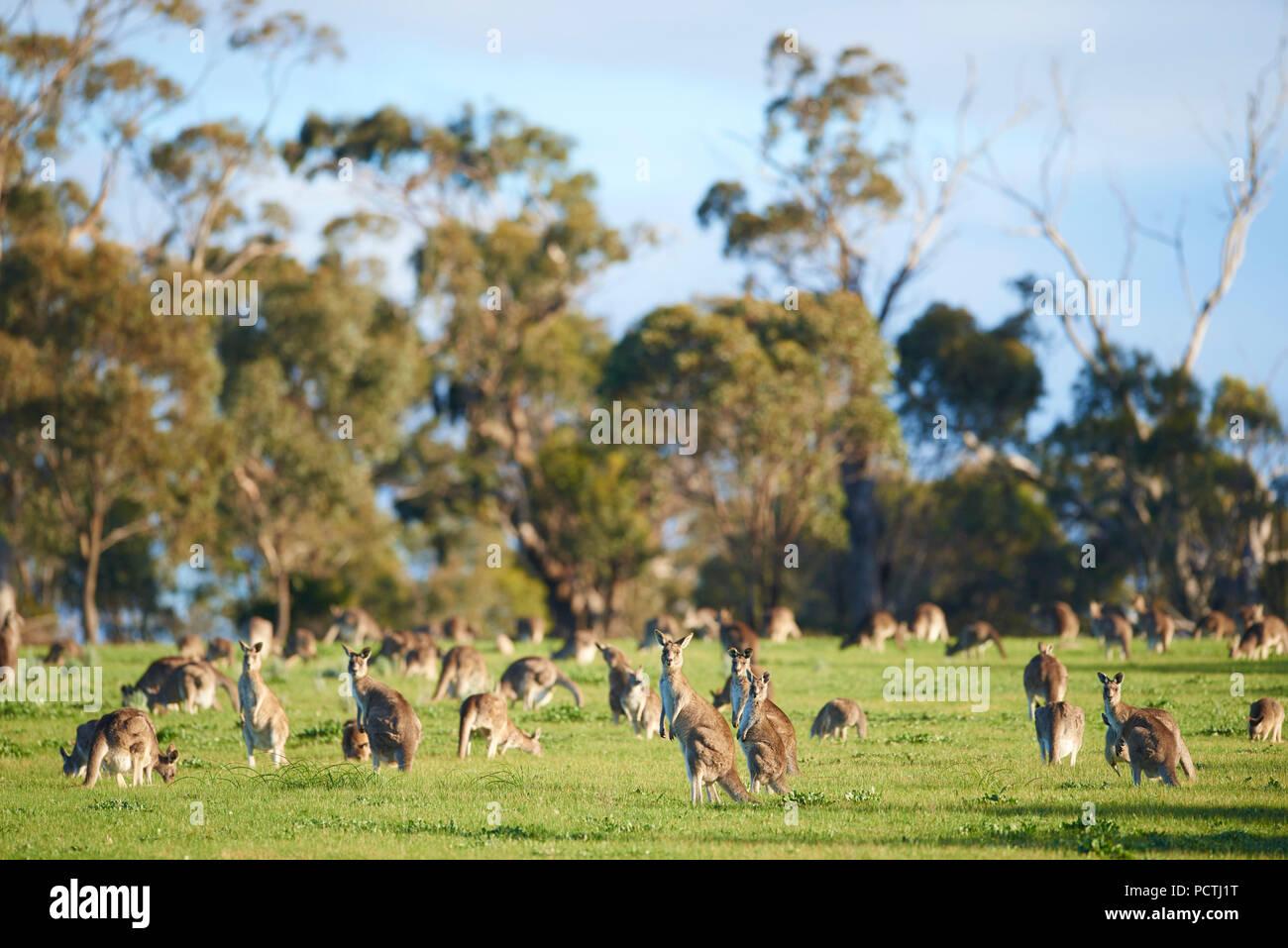 Kangaroo pack, Orientale Canguro grigio (Macropus giganteus), prati, in piedi, Victoria, Australia, Oceania Foto Stock
