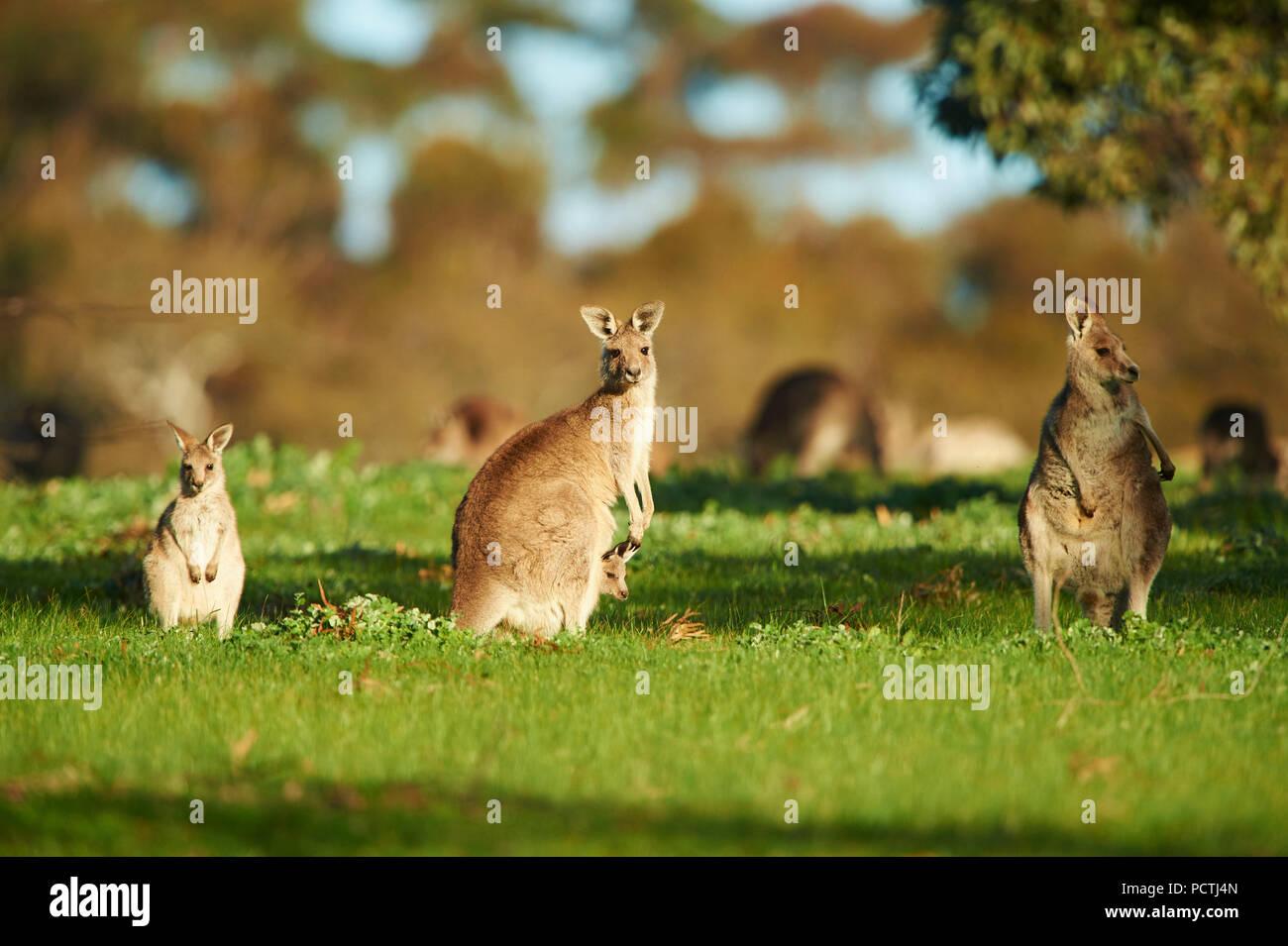 Orientale Canguro grigio (Macropus giganteus), prati, in piedi, Victoria, Australia, Oceania Immagini Stock