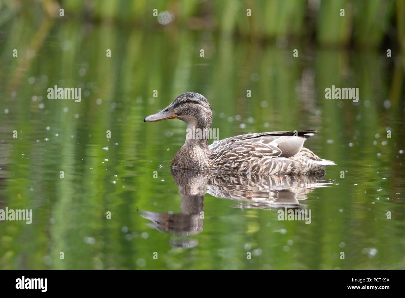 Femmina Mallard duck cercando felice come mothering otto anatroccoli Immagini Stock