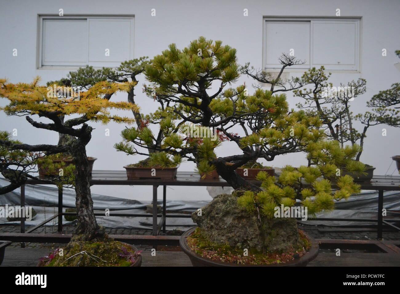 Trident Maple Tree IDEALE per esterni BONSAI come Acero Giapponese ACER BUERGERIANUM