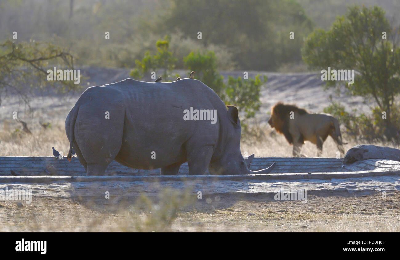 Sud Africa, una fantastica destinazione di viaggio per sperimentare e terzo e primo mondo insieme. Maschio bianco rhiono e maschio di leone prossimità. Parco di Kruger. Immagini Stock