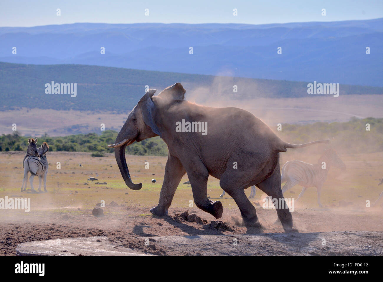 Sud Africa, una fantastica destinazione di viaggio per sperimentare e terzo e primo mondo insieme. Arrabbiato elephant Bull inseguono zebre da waterhole. Addo. Immagini Stock
