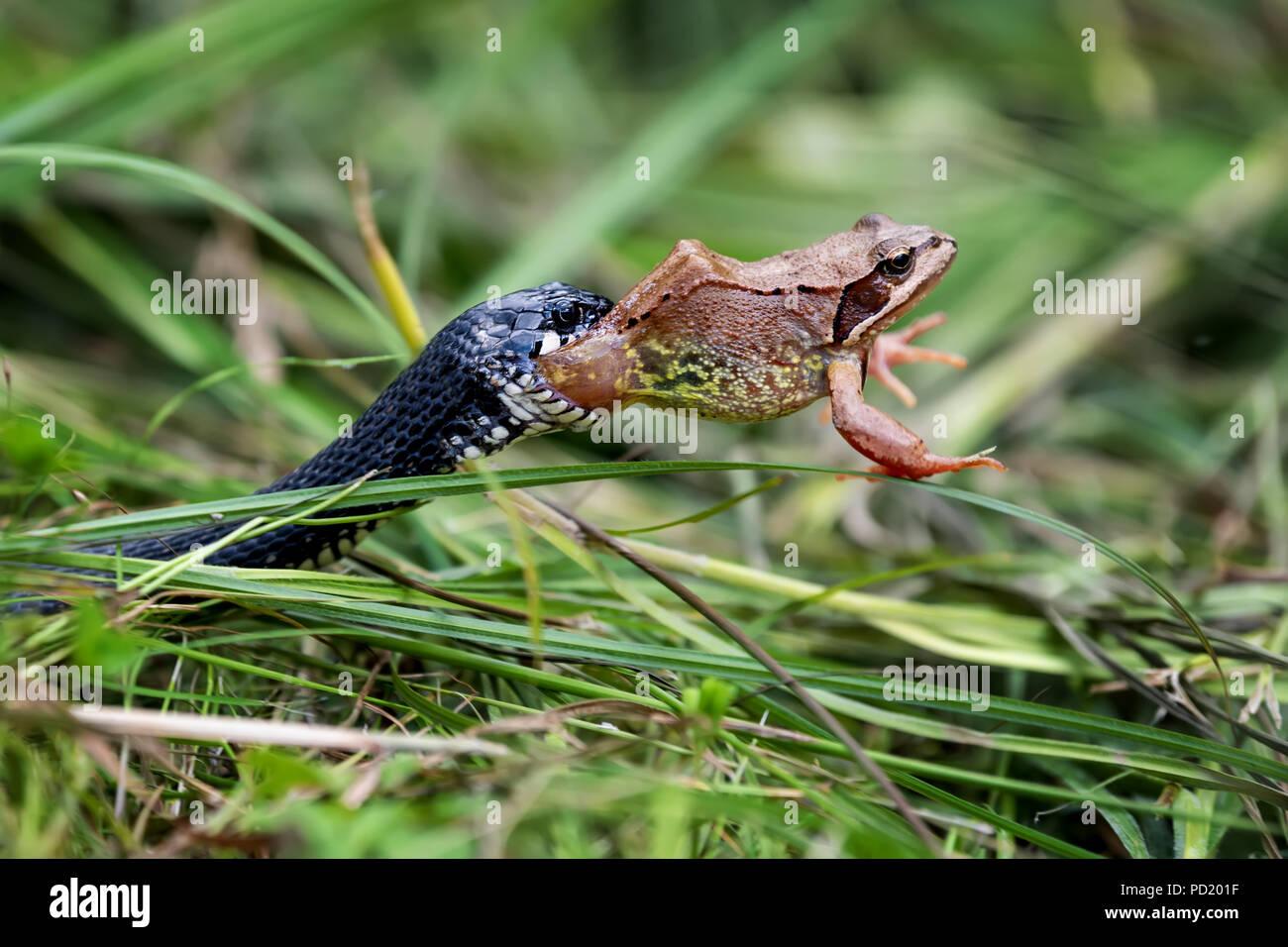 Il Serpente Nero mangiare grande rana Immagini Stock