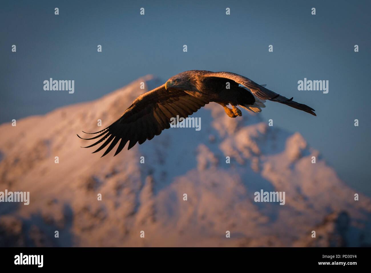 White-tailed Eagle (Haliaeetus albicilla), in volo, a caccia di pesci, Å i Lofoten, Nordland, Norvegia Foto Stock
