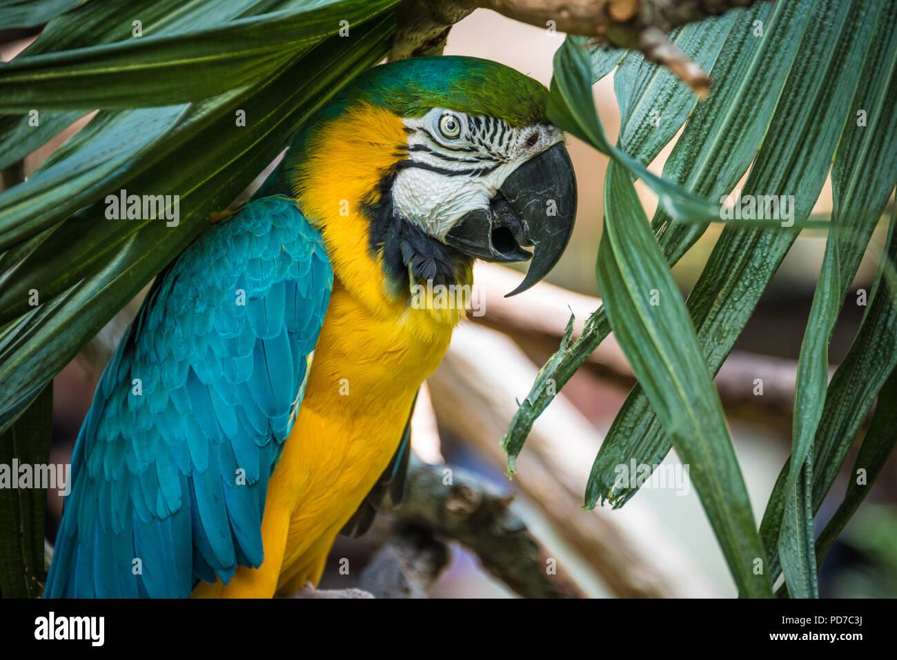 Una colorata blu-giallo macaw (noto anche come un blu e oro macaw) al Sant'Agostino Alligator Farm Zoological Park di sant'Agostino, FL. (USA) Immagini Stock