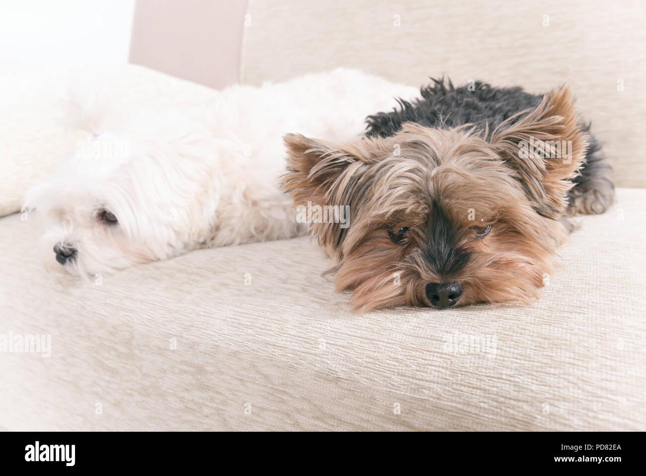 Due Simpatici Cani Maltese Bianca E Yorkshire Terrier Su Un Divano A