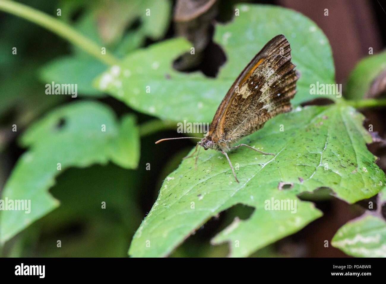 Un gatekeeper o hedge marrone (farfalla Pyronia tithonus) su una foglia con le sue ali chiuso Immagini Stock