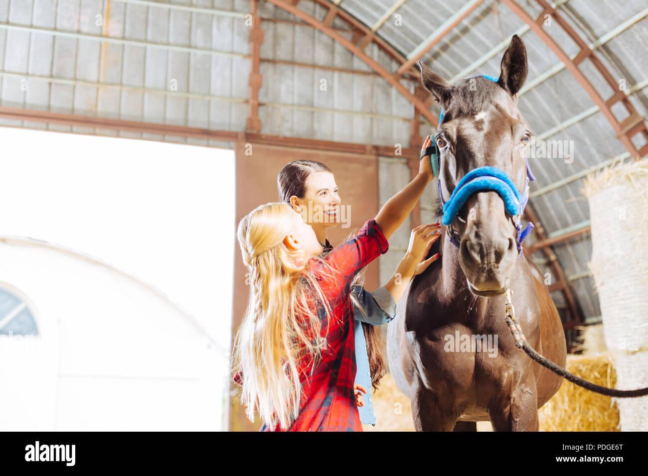 Elegante ragazza indossare stivali da cavallo pulizia di un cavallo da corsa Immagini Stock