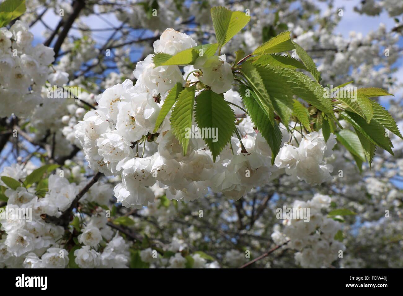Fiori Bianchi In Primavera.Fiore Bianco Su Un Albero In Primavera I Fiori Bianchi Primaverili