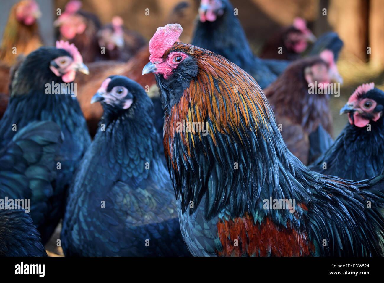 Roger Rooster è molto popolare con le signore tutti i polli gregge a lui Immagini Stock