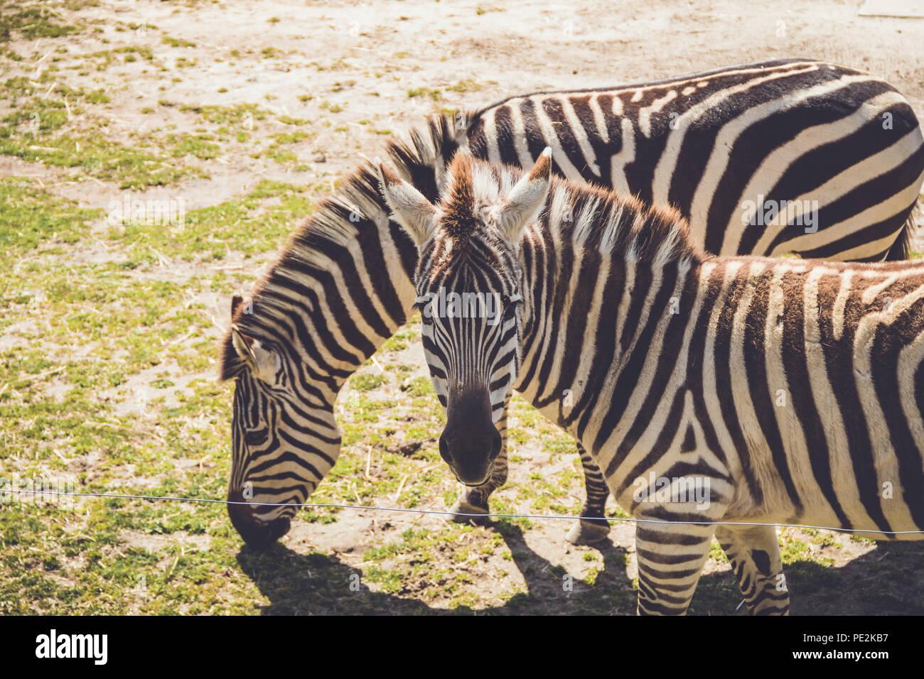 Zebra (Equus quagga) sfiori su erba selvatica in suolo sabbioso in un vintage giardino Foto Stock