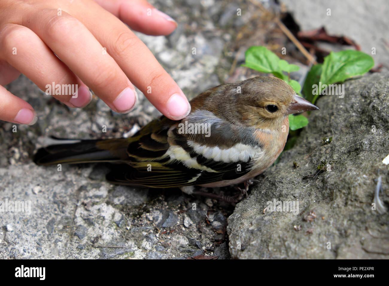 Bambino la mano digitazione del fringuello bird seduta storditi a terra dopo la caduta in una finestra in Carmarthenshire Wales UK. KATHY DEWITT Immagini Stock