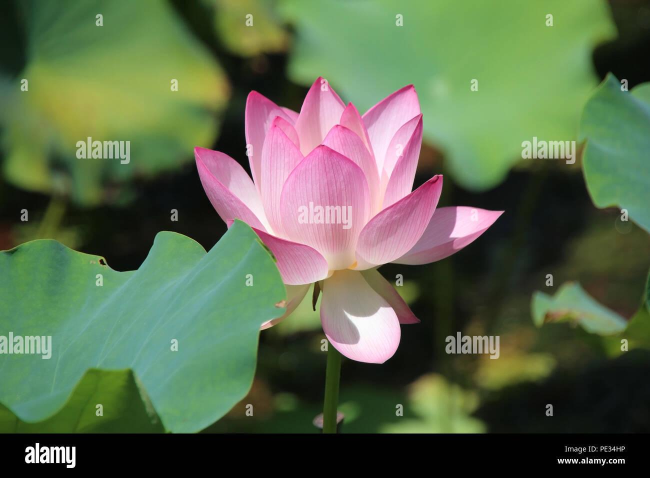 Di un bel colore rosa con Lotus Lotus verde foglie, fiori buddista di purezza, blossom nel laghetto di loto Immagini Stock