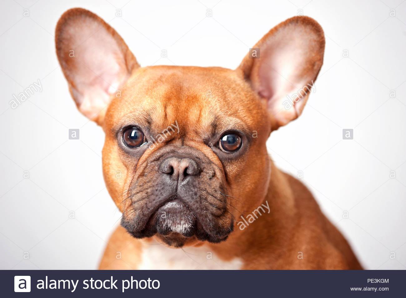 Rosso Fulvo Bulldog Francese Colpo Alla Testa Verticale Sul Grigio