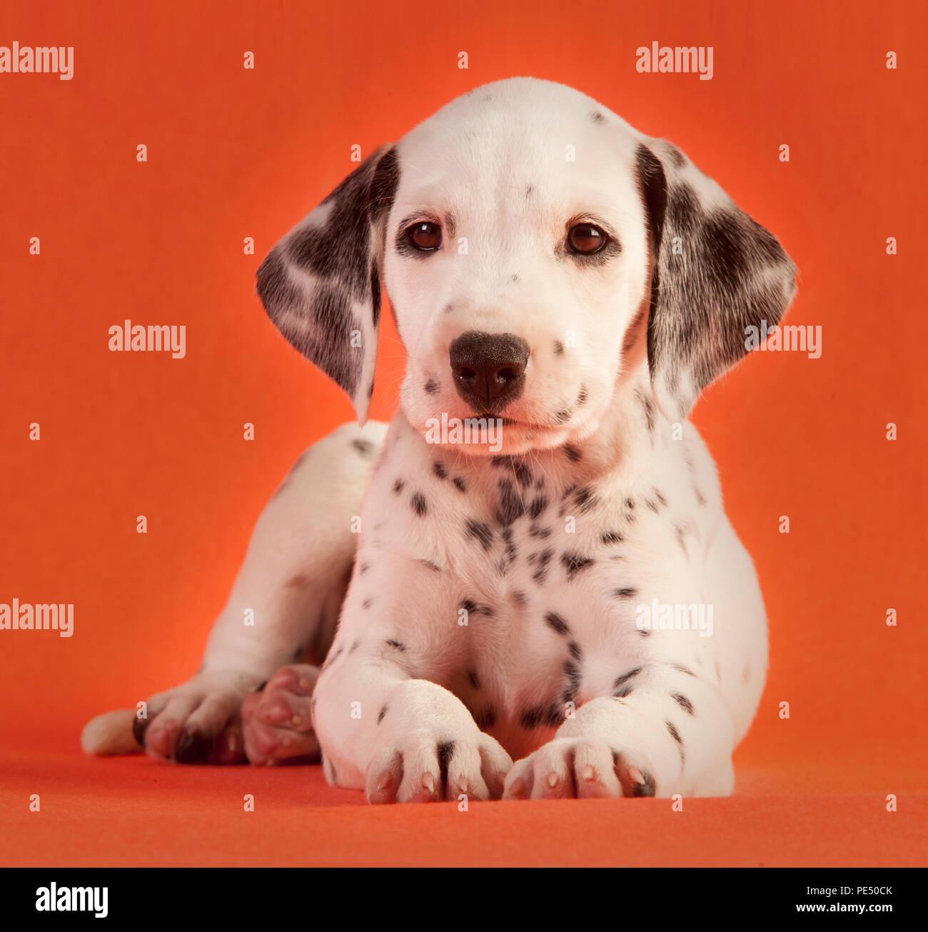 Cucciolo Di Cane Dalmata In Studio Con Sfondo Arancione Foto