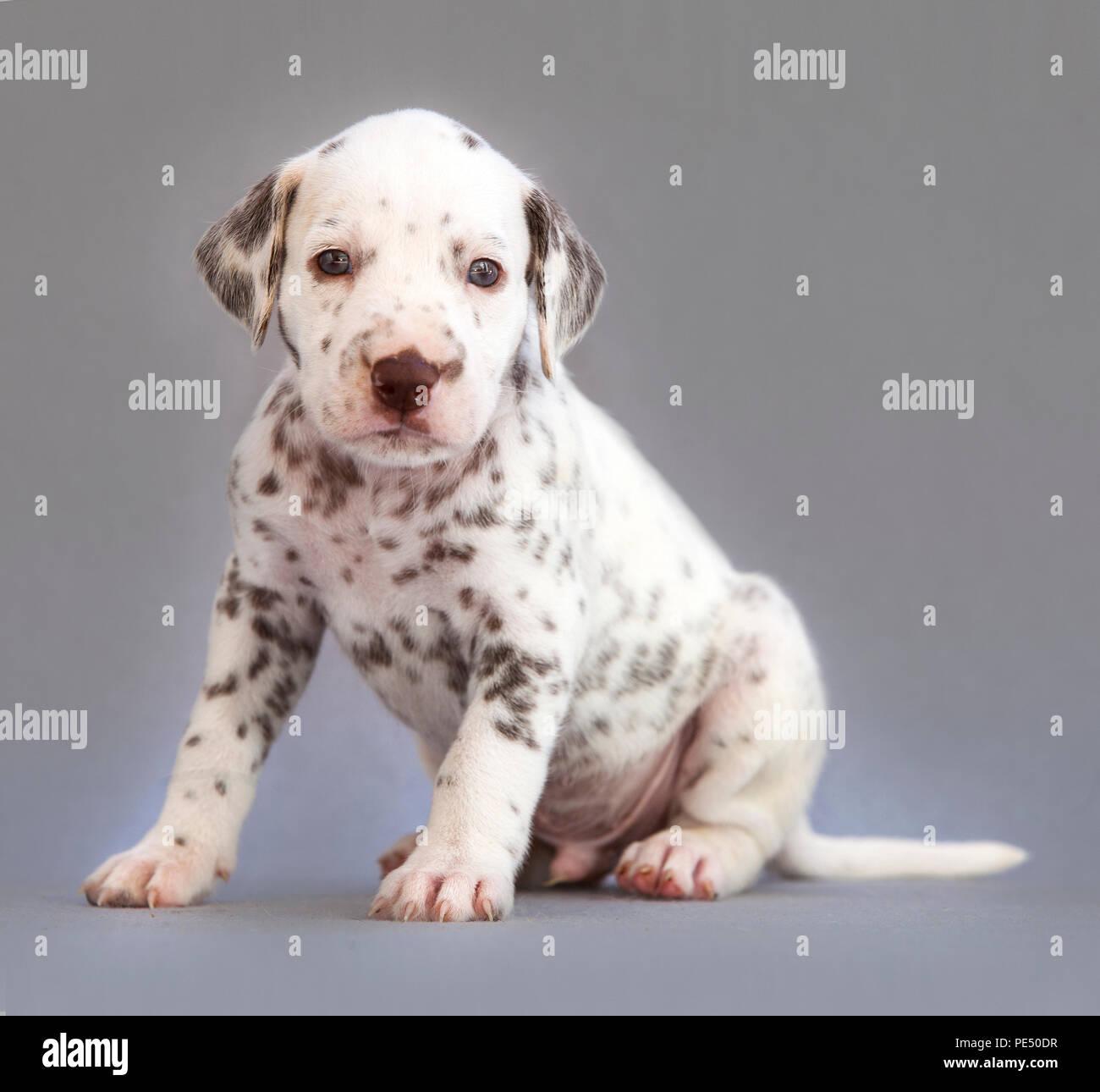 Cucciolo Di Cane Dalmata In Studio Con Sfondo Grigio Foto Immagine