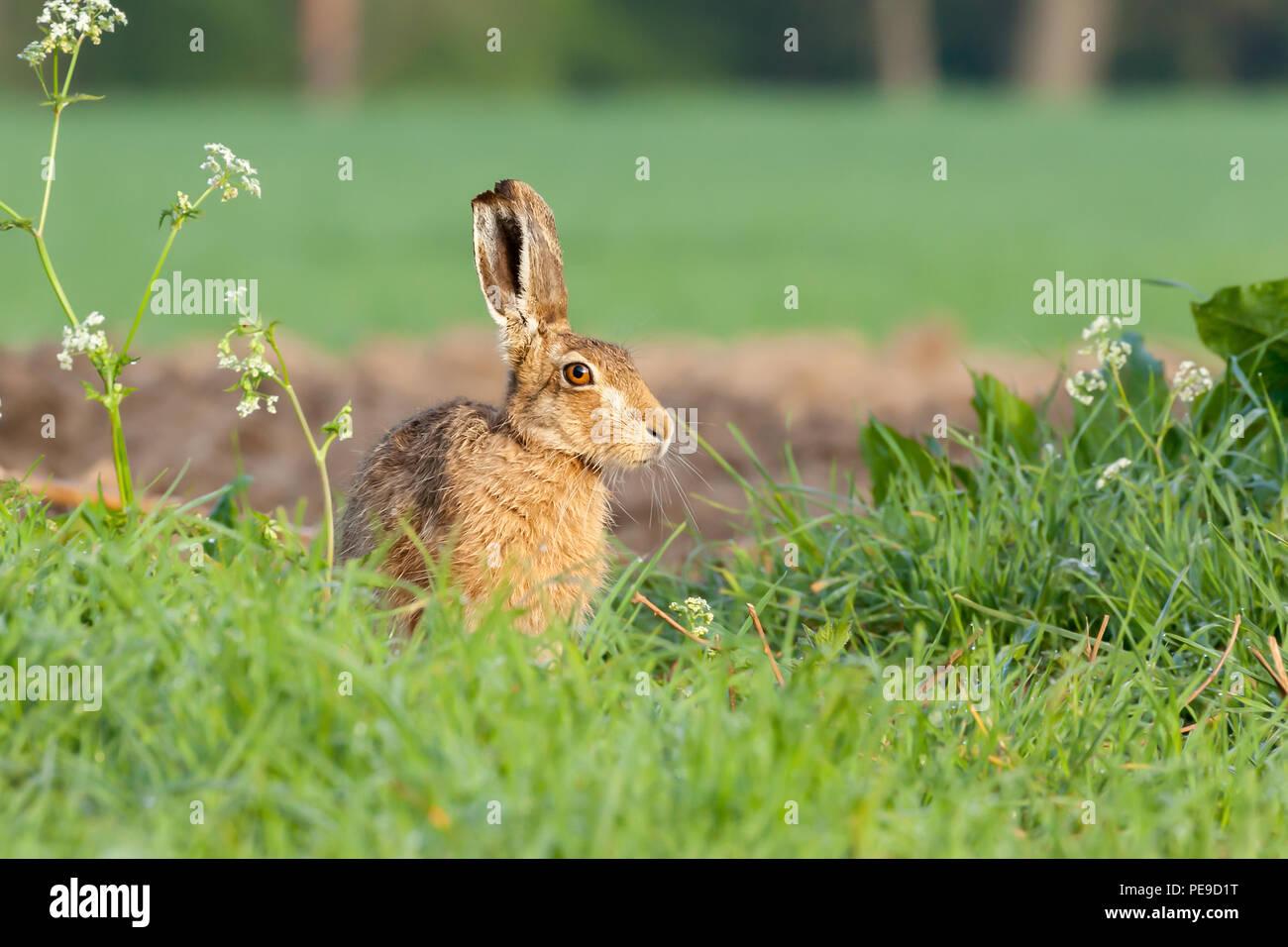 Wild hare close up seduto sul bordo di un campo di balneazione in l'alba, il riscaldamento con il calore del sole. Immagini Stock