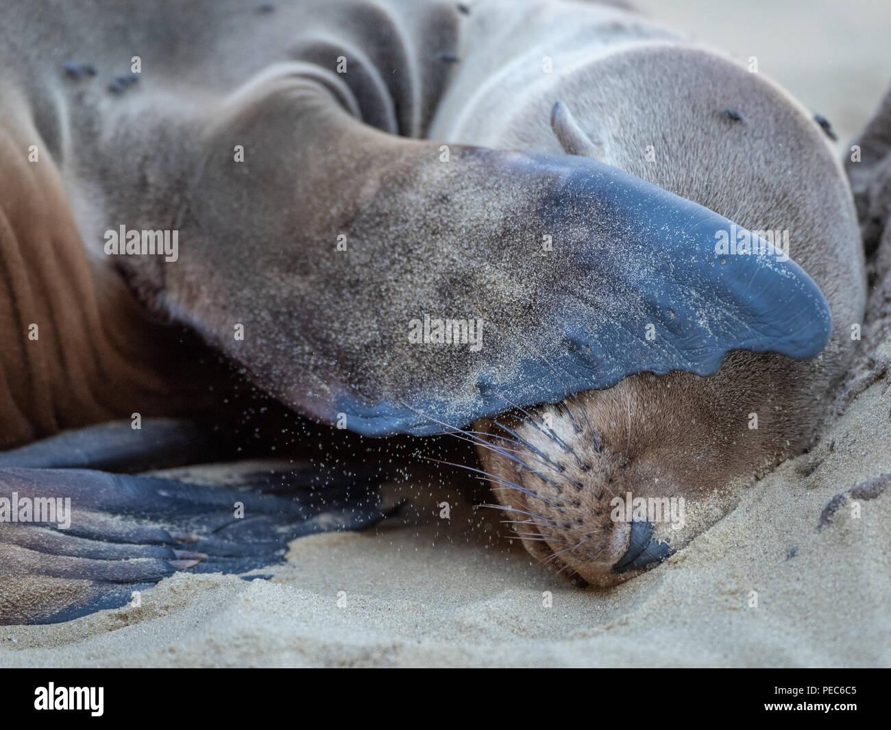 I leoni di mare e le isole Galapagos Foto Stock