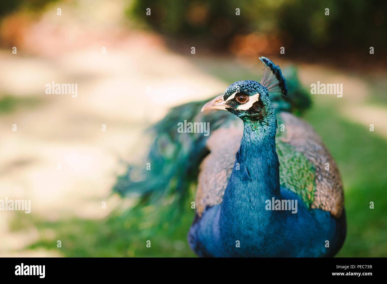 Peacock nel selvaggio Immagini Stock