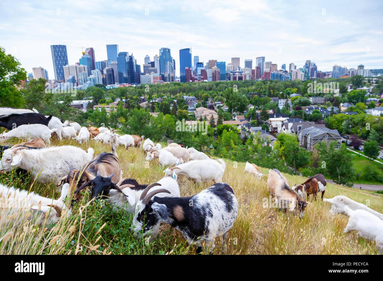 Caprini mangiare erbe infestanti in un parco di Calgary come parte della città destinate al pascolo per pianta invasiva specie infestanti utilizzando gestione ospitale nei confronti dei dal punto di vista ambientale Immagini Stock