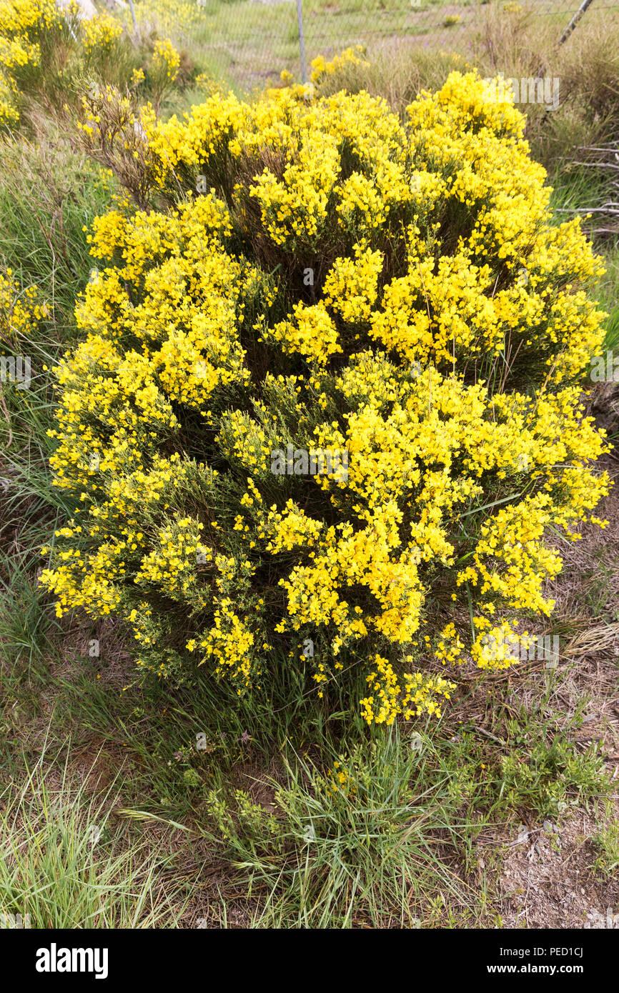 Arbusto A Fiori Gialli cytisus oromediterraneus cespuglio fiorito con i suoi fiori