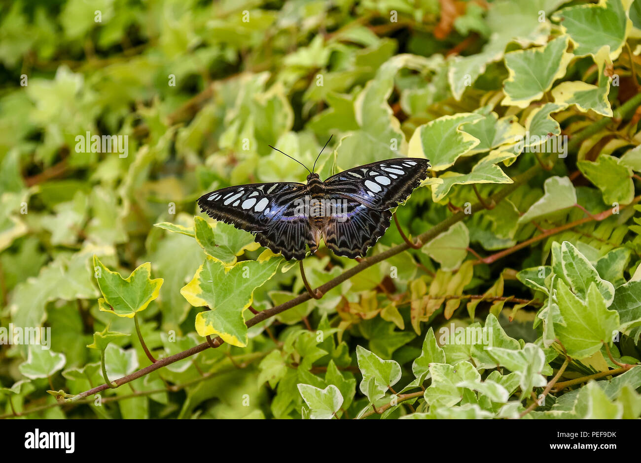 Il Clipper di farfalle tropicali (Parthenos sylvia) con le ali stese che riposa su alcuni Ivy Immagini Stock