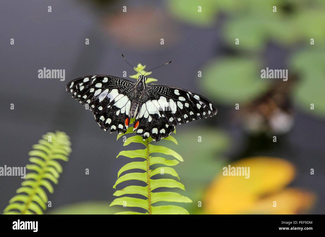 Papilio demoleus è un comune e diffuso a farfalla a coda di rondine. La farfalla è anche conosciuta come la calce butterfly, limone butterfly, calce swallowtai Immagini Stock