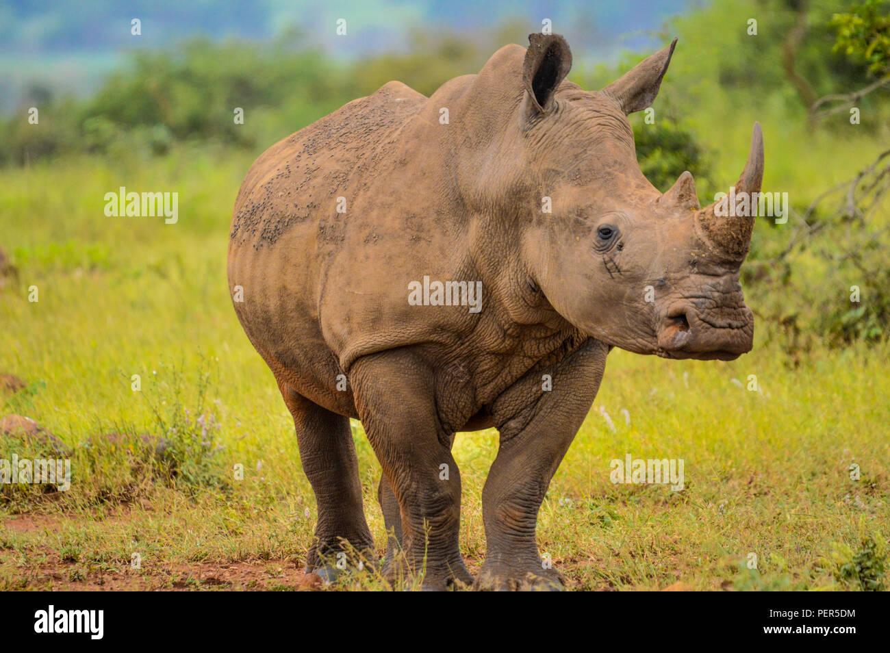 Un simpatico bull maschio rinoceronte bianco in Kruger vicino Marloth park di pascolare su erba verde terra di Savannah Foto Stock