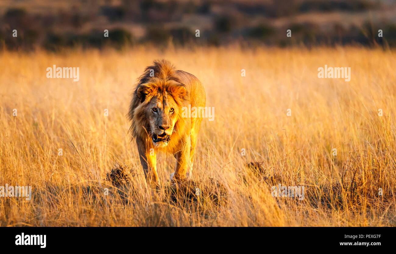 Ululano giovane maschio Mara lion (Panthera leo) si prepara a sferrare un attacco contro un rivale sulle praterie del Masai Mara, Kenya in tipico comportamento aggressivo Foto Stock