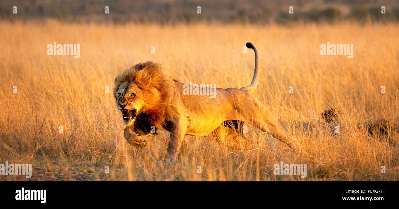 Ululano giovane maschio Mara lion (Panthera leo) oneri per sferrare un attacco contro un rivale sulle praterie del Masai Mara, Kenya in tipico comportamento aggressivo Foto Stock