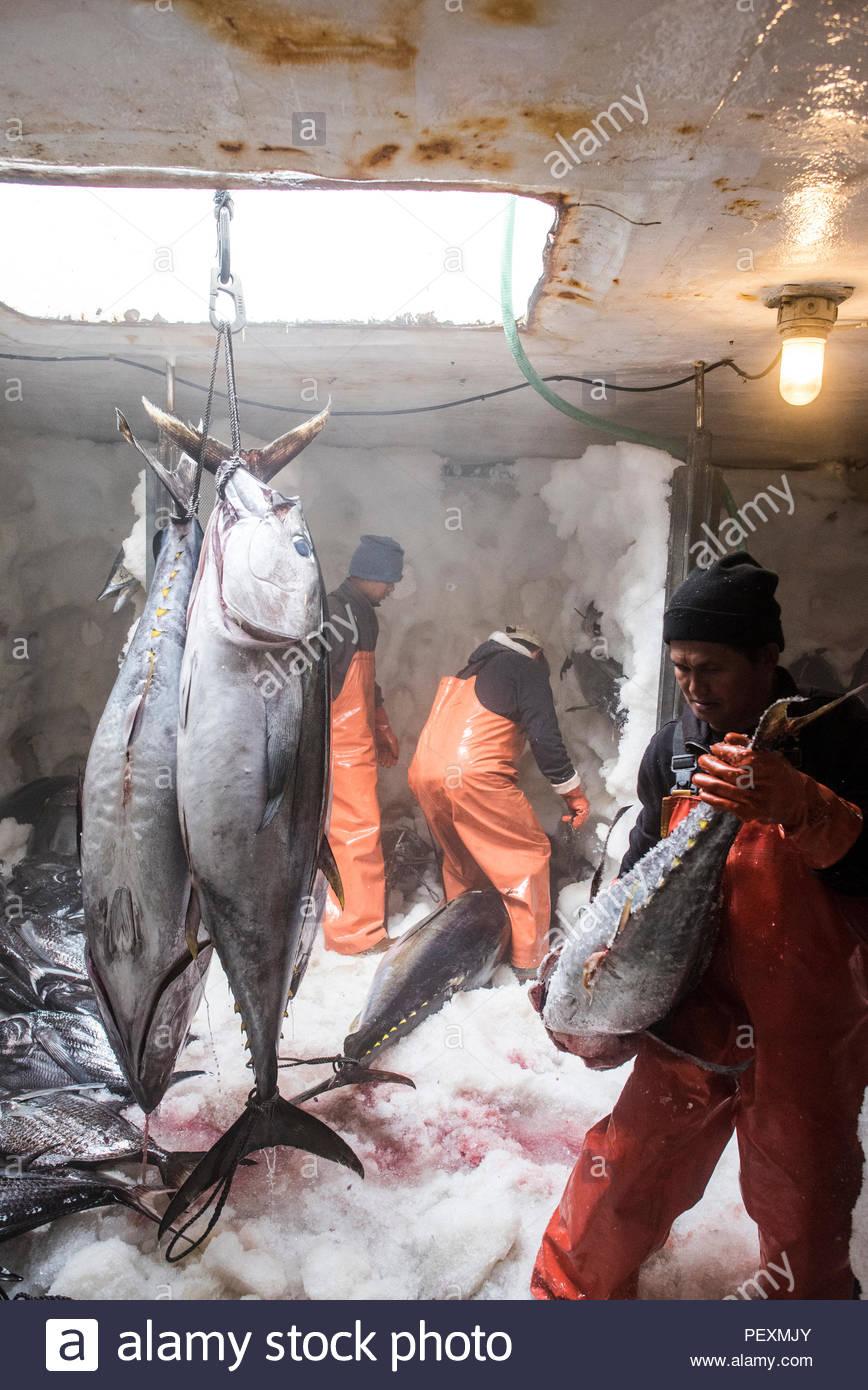 Deckhands lo spostamento di pesci di grandi dimensioni attorno al congelatore in barca da pesca, San Diego, California, Stati Uniti d'America Immagini Stock