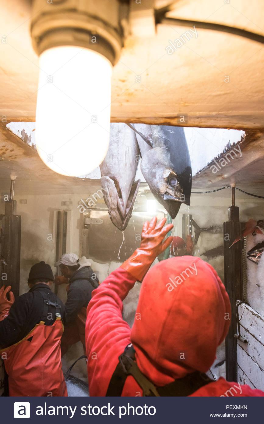 Tonno in freezer commerciali di pesca in barca, San Diego, California, Stati Uniti d'America Immagini Stock