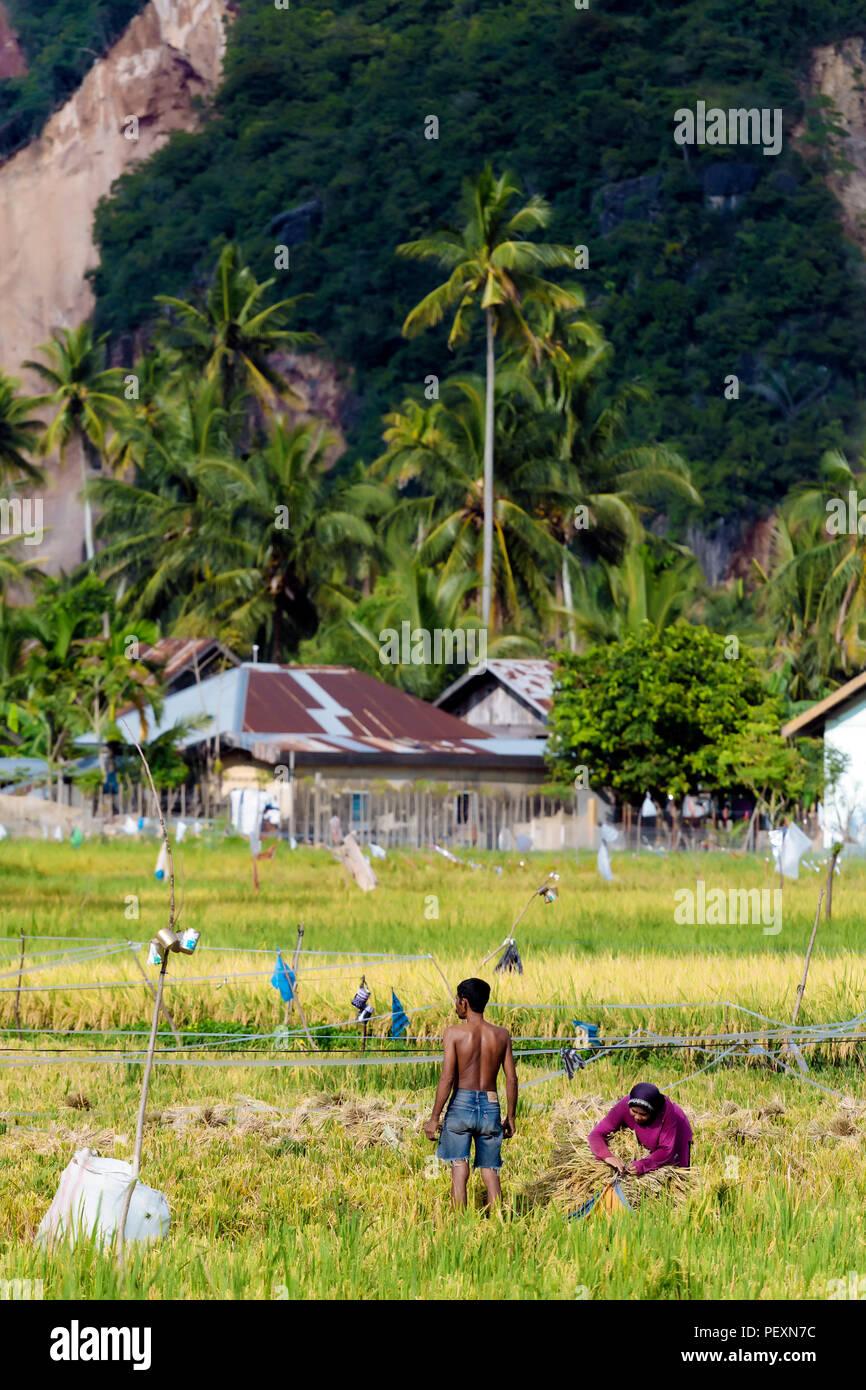 Le persone che lavorano nel campo di riso, Banda Aceh e Sumatra, Indonesia Immagini Stock