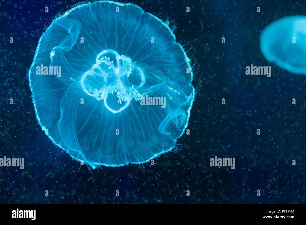 Aurelia aurita, traslucido luna medusa nuoto acquario interno Immagini Stock